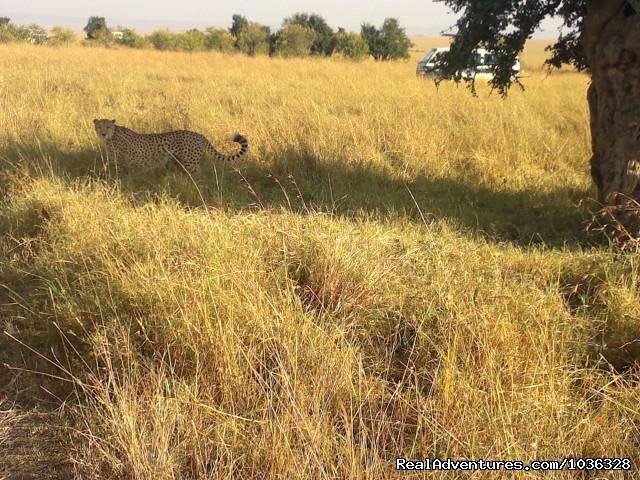 Cheetah (#25 of 26) - African Home Adventure Safaris