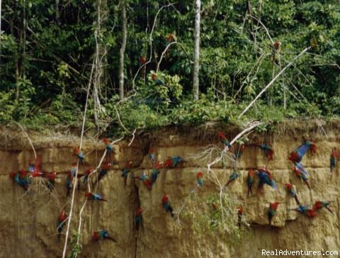 Macaw Clay Lick in Manu (#2 of 6) - Explore Manu Rainforest and go Trekking in Peru