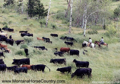 Driving Cattle.... (#1 of 4) - Horseback adventures in Montana