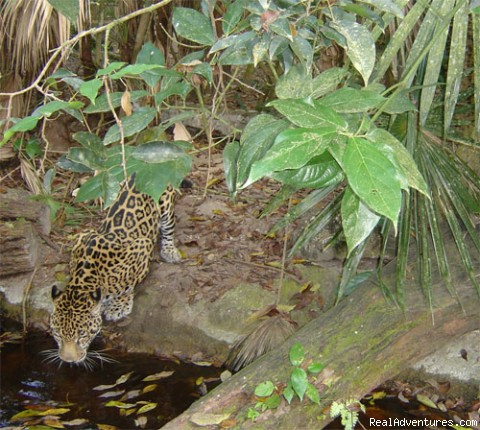 Jaguar as seen at the Belize Zoo - Daily/Customize tours (safe and affordable rates)