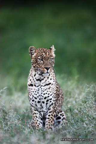Leopard in the Solio Game Reserve - Climbing Mt Kenya/kilimanjaro/wildlife Safaris