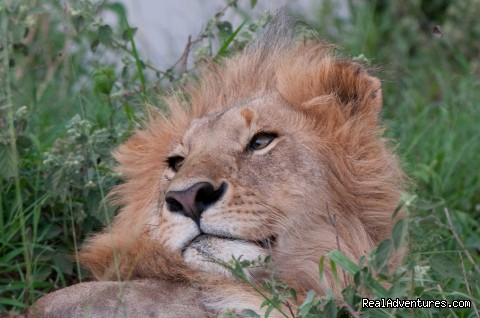 Male Lion in the Masai Mara - Climbing Mt Kenya/kilimanjaro/wildlife Safaris
