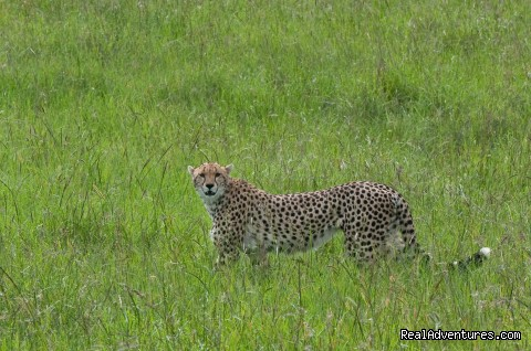 Cheetah in Masai mara - Climbing Mt Kenya/kilimanjaro/wildlife Safaris