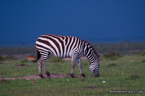 Zebra in the Masai Mara - Climbing Mt Kenya/kilimanjaro/wildlife Safaris