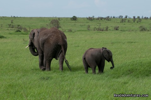 Elephants at Masai Mara - Climbing Mt Kenya/kilimanjaro/wildlife Safaris