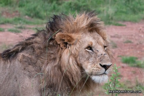 Climbing Mt Kenya/kilimanjaro/wildlife Safaris: Male lion in the Masai Mara