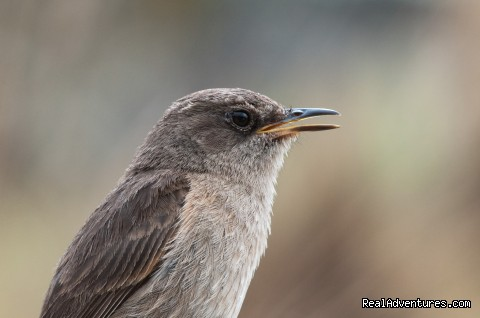 Alpine Chat on Mt Kenya - Climbing Mt Kenya/kilimanjaro/wildlife Safaris