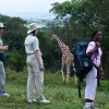 Walking among giraffes