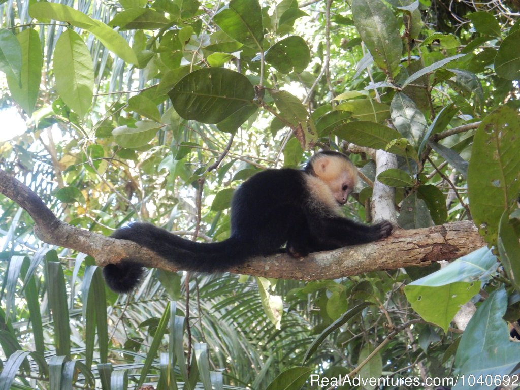 White Faced Capuchin | Image #8/13 | Horseback riding Jaco with Discovery Horse Tours