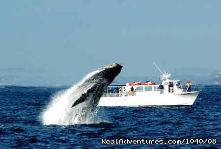 Breaching Humpback in September - Whale Watch& Wildlife Tours April - October