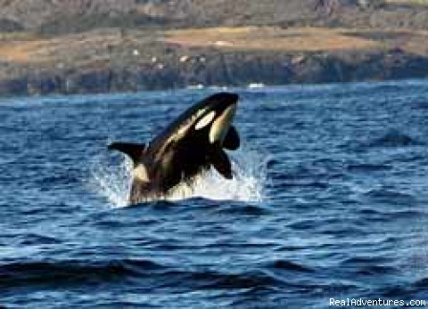 Breaching Orca - Whale Watch& Wildlife Tours April - October