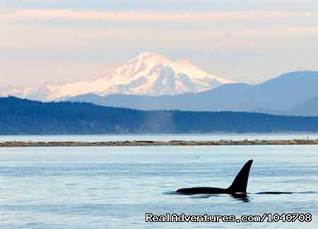 Mt Baker for Icing (#7 of 26) - Whale Watch& Wildlife Tours April - October