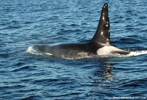 Orca Whale Comes Up For Fresh Air - Whale Watch& Wildlife Tours April - October