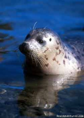 One of our many Harbor Seals