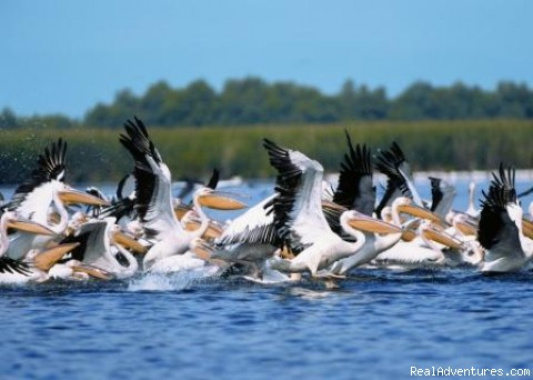 White Pelicans - Explore the Wild Danube at Delta Nature Resort