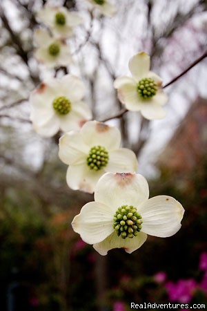 Spring time Dogwood in gardens - Ahern's Belle of the Bends Bed and Breakfast
