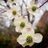Spring time Dogwood in gardens