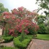 165 year old crepe myrtle- gardens