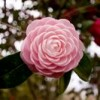 Camellia in winter garden