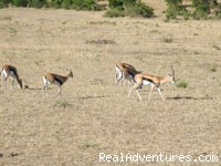 Impala in Masai Mara Game Reserve - African Home Adventure Safaris Kenya and Tanzania