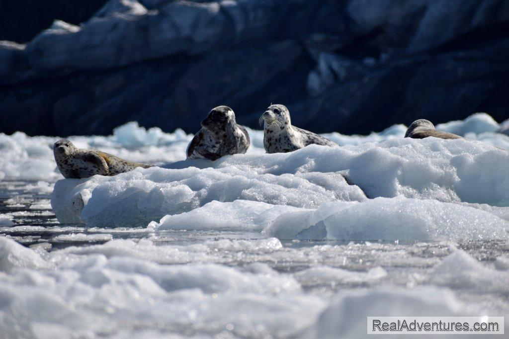 Harbor Seals | Image #8/13 | Prince William Sound Sea Kayaking and Hiking Tours