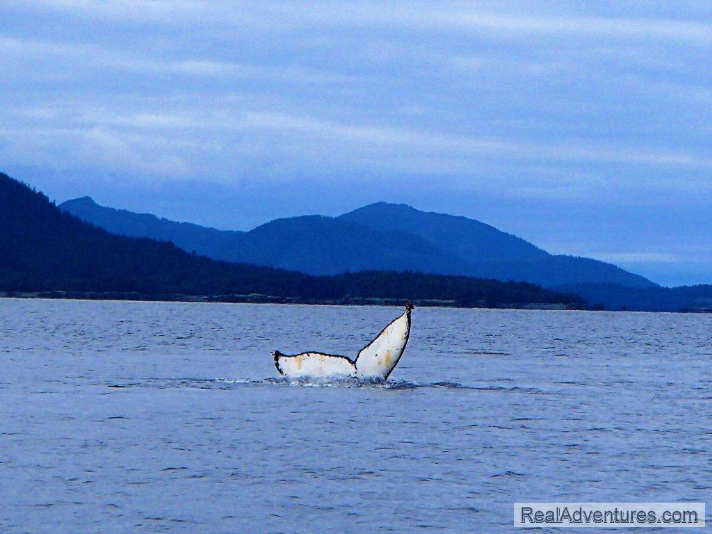 Humpback Whale | Image #11/13 | Prince William Sound Sea Kayaking and Hiking Tours