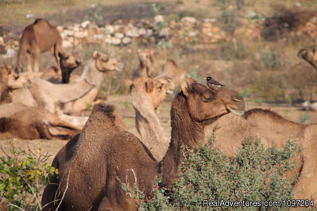 Camels - Horsebacksafaris on Marwari Horses in Rajasthan