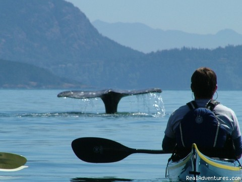 Whale watching by sea kayaks - Sea Kayak the Secret Side of the San Juan Islands
