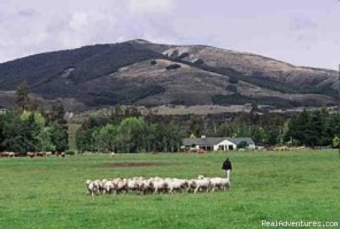 Sheep Farm New Zealand - Farm Vacations in New Zealand