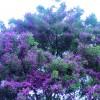 Tree Culebrillo