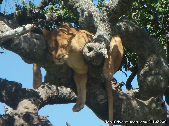 Tree Climbing Lion in Lake Manyara - World Tours And Safaris Tanzania