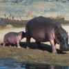Hippo's in Lake Manyara National Park
