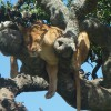 Tree Climbing Lion in Lake Manyara