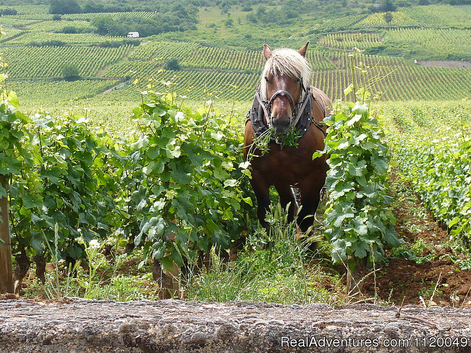 Horse in the vineyards La Tache