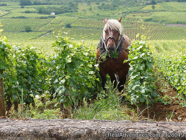 Horse in the vineyards La Tache (#15 of 19) - Exclusive Private Wine & Food Tour Adventures