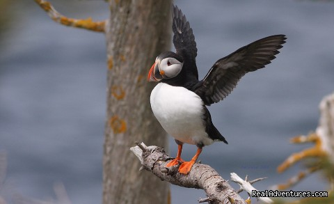 Puffin at North America's largest colony - Wildland Tours