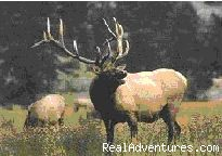 Elk Bugling - Fantastic Horseback Riding in Yellowstone Country