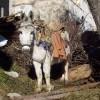 Donkey in Pirin Mountain