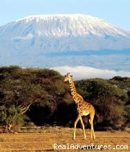 Masai Mara Safari- 3 Days: Giraffe in Amboseli Park Kenya