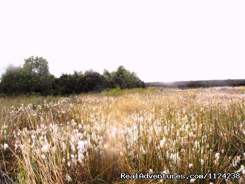 Bog cotton at nearby bog - Holiday by the River Shannon in Ireland