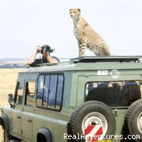 Maasai Mara Wildebeest Migration Safari: Cheetah using Safari vehicle as look out