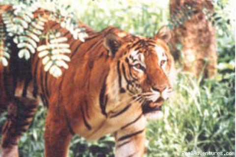 400 Royal Bengal tigers in Sundarban (#3 of 9) - Green Bangla Tours (Tour Operator in bangladesh)