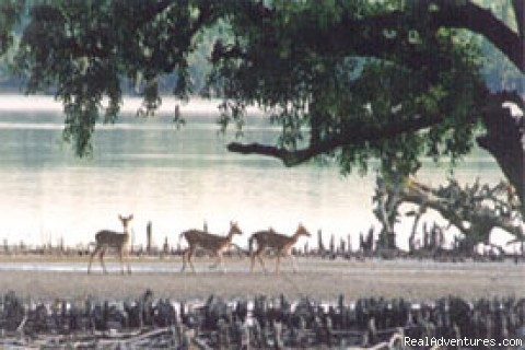 about 30,000 spotted deer in this Sundar - Green Bangla Tours (Tour Operator in bangladesh)
