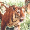 400 Royal Bengal tigers in Sundarban