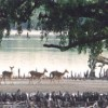 about 30,000 spotted deer in this Sundar