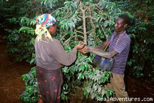 Coffee Farm in kenya - Victoria Safaris