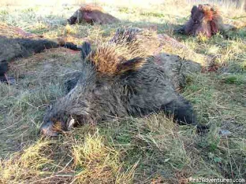 Russian Wild boar - Euro-Trip, Hunt in Hungary