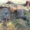 Russian Wild boar