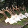 Roe buck hunt