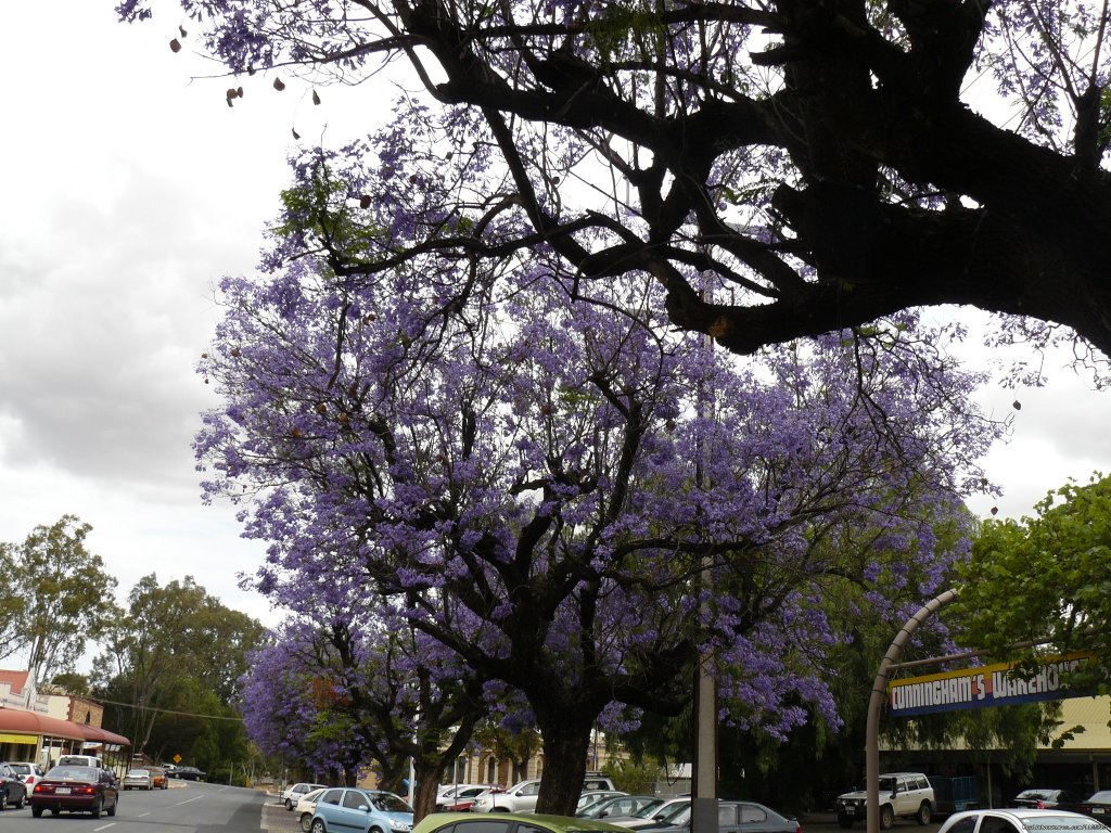 Jacaranda Tree in Flower | Image #19/20 | Barossa Country Cottages. Premier Wine Country.